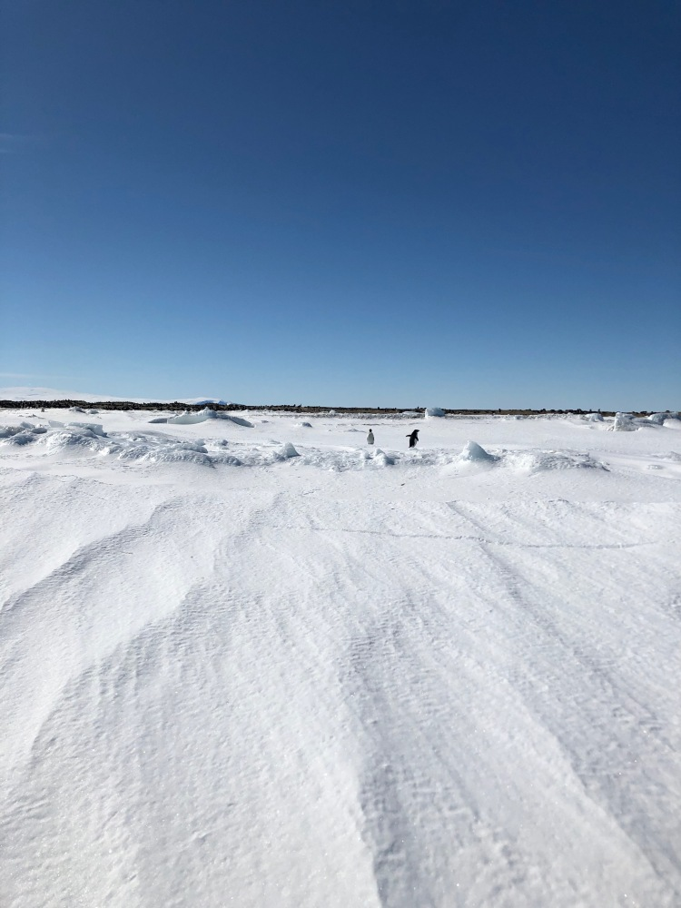 Penguins at Cape Hallett