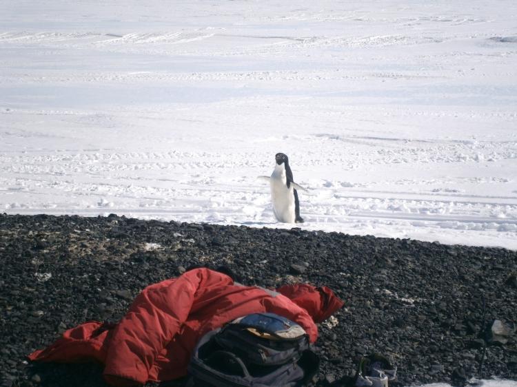 Lone Penguin 15 feet away